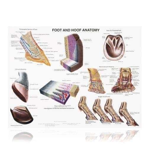 Foot & hoof   wallchart